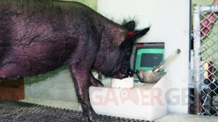 Acquisition of a Joystick Operated Video Task by Pigs   BBC pic 2